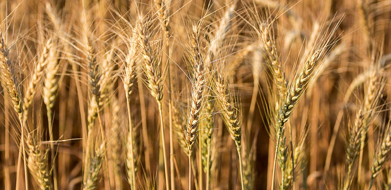 Barley17